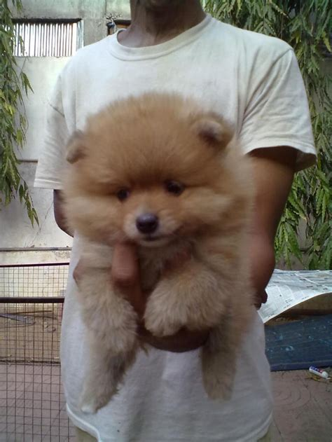 pomeranian puppy price in hyderabad pomeranian puppies for sale yousuf khaja 1 11342 dogs for sale price of puppies
