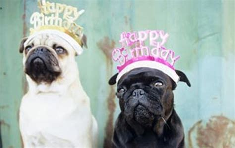 pug with birthday hat birthday hats the cutest app birthday pug and birthday