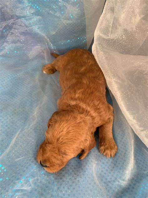 red labradoodles  sale iowa puppies standard poodle lab mix