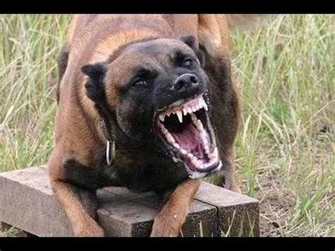 best attack dogs malinois attack 2 best dogs attacks amazing