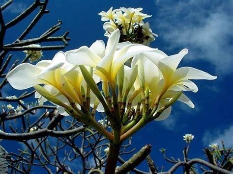 fiori di frangipane fiore frangipane piante da giardino caratteristiche