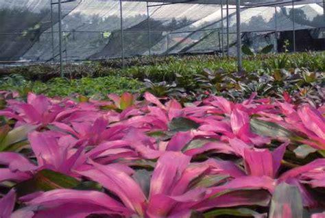 gambar  nama latin tanaman hias hortikultura