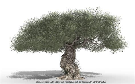 olive trees olive tree olea europaea olive tree hd