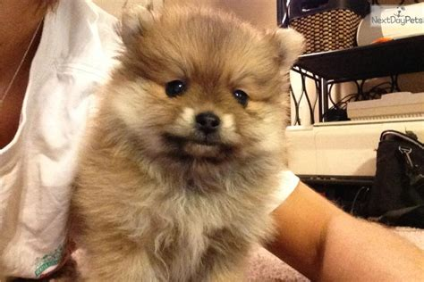 pomeranian puppies for sale in ky 200 pomeranian puppies for sale breeds picture