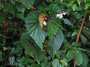 Batu Akik Mirip Kulit Monyet tumbuhan hutan yang bisa dimakan batu akik agate