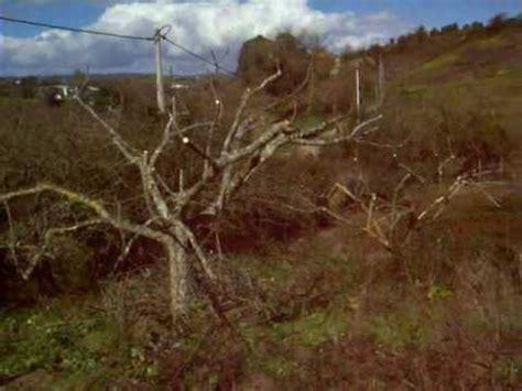 poda da figueira | pruning the fig tree youtube
