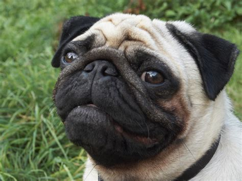 a pug as a pet i wanna pet pug