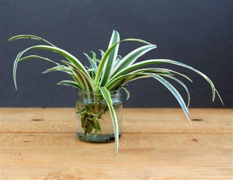 Magic Plant Can Tanaman Hidup Diy Plant diy tanaman hias indoor dalam air mudah dan menyehatkan