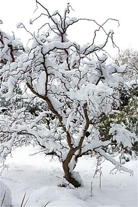 """twisty baby"" locust tree in winter.   ""i think that i"