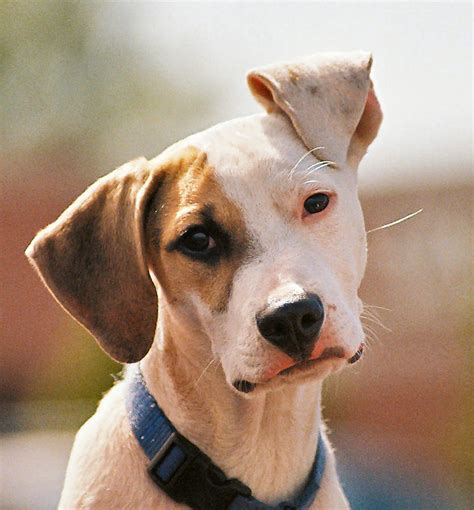 floppy puppy floppy eared two cavaliers