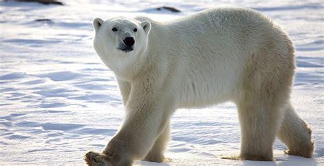 imagenes animales polares pelaje de los osos polares