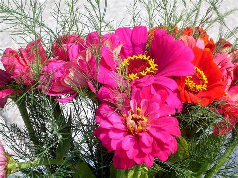 wallpaper zinnia pink zinnia wallpaper wallpaper wide hd