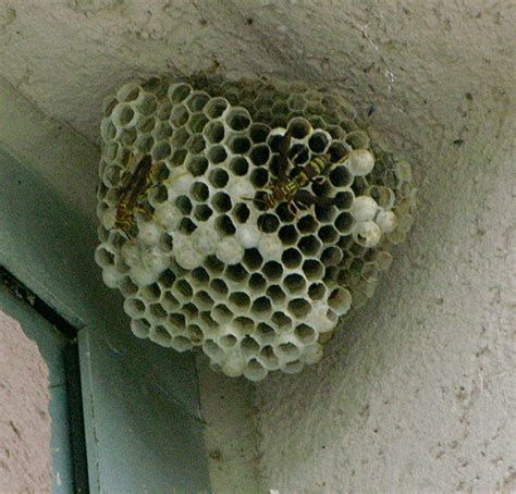 Bees That Make Paper Nests - paper wasp polistes fuscatus paper wasp nests can be