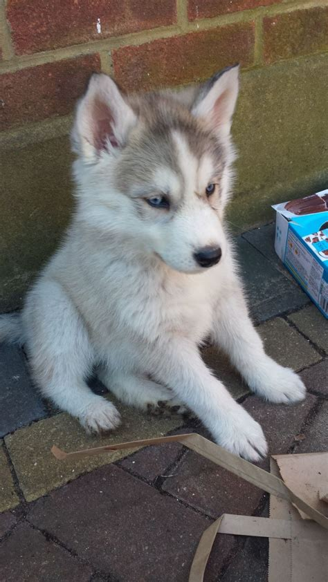 husky puppies with blue for sale stunning blue eyed siberian husky puppies for sale hounslow middlesex pets4homes