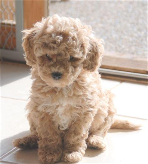 mini australian doodle miniature australian labradoodle puppies available at