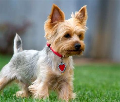 types of yorkie haircuts pictures vetherapy gr yorkshire terrier