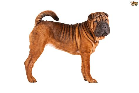 shar pei puppy cost shar pei breed information buying advice photos and facts pets4homes
