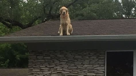 dog on a roof dog named huckleberry becomes star for hanging out on