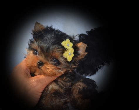 doll yorkies babydoll faced yorkies canada teacup yorkies fcs precious yorkies