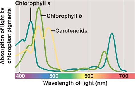 The Major Light Absorbing Pigment In Green Plant Photosynthesis Is why are plants green