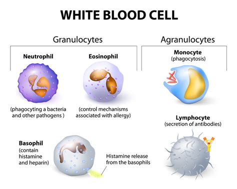 blood cells diagram labelled diagram of white blood cells click for the