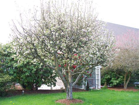 file apple tree in full bloom jpg