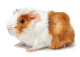 Pets At Home Small Animals Guinea Pig Care Health Advice Small Animal Care Info