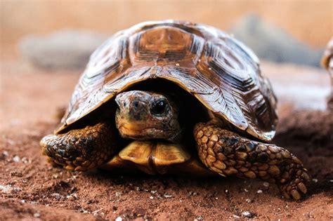 lada per tartarughe di terra il sesso delle tartarughe terrestri viridea