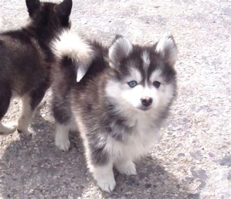 puppies for sale in indiana 9 weeks pomsky puppies for sale husky coloring and blue for sale in