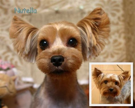 can yorkies eat peanut butter 17 b 228 sta id 233 erna om haircuts p 229 terrier