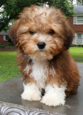 all types of yorkies 19 best morkie poo images on animals puppies and adorable animals