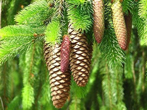 white pine cone maine s state flower white pine cone and tassel maine