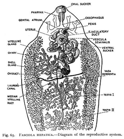 labelled diagram of fasciola hepatica micrographia supplementary diagram
