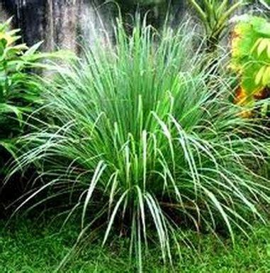 tanaman serai bumbu