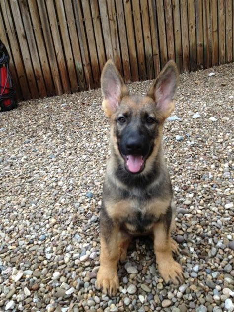 german shepherd puppy weight german shepherd weight chart weeks dogs our friends photo