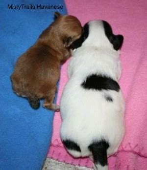 puppy swollen belly a premature puppy whelping and raising puppies