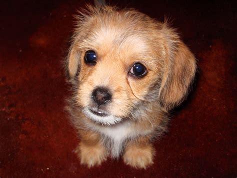 schweenie puppies schweenie puppy pets