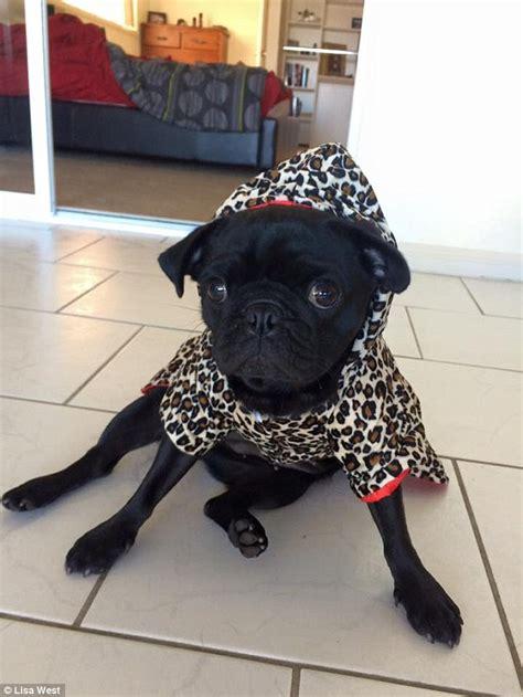 pug puppies gold coast designer clothing from the gold coast onlinenigeria