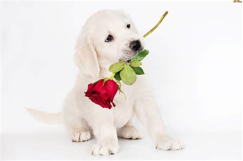dibujo de cachorro con una flor en la boca para colorear pies pies szczeniak biały słodki r 243 ża