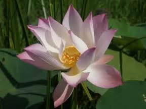 Lotus Blossom Tree Lotus Wallpaper