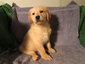 puppies for sale in va golden retriever puppy breeders va dogs our friends