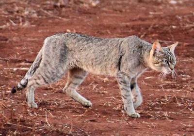 african wild cat on the h10