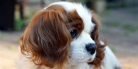 cavalier king charles puppy cavalier king charles spaniel information characteristics facts names