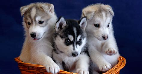 princess puppies princess to welcome sled puppies on its alaska cruises debut new activities