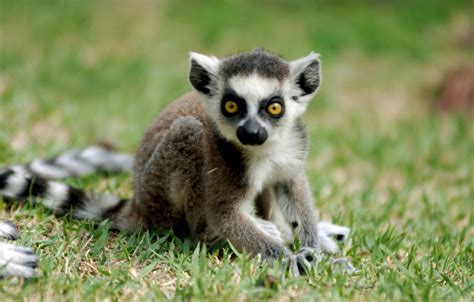 baby lemur baby ring tailed lemur baby ring tailed lemur everland