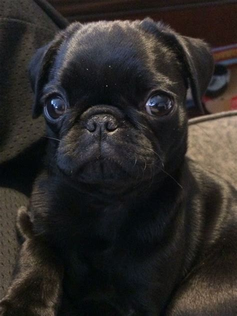 black pug black pug puppy so pugs