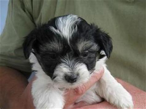 shih tzu free to home newcastle for sale maltese x shih tzu puppy tri colour nsw ready now