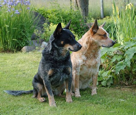 cattle dogs australian cattle