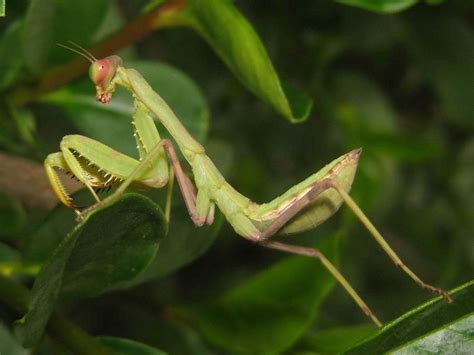 Praying Mantis L by Praying Mantis Pictures Nature Cultural And Travel