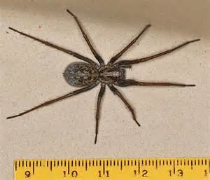 giant house spider giant house spider size